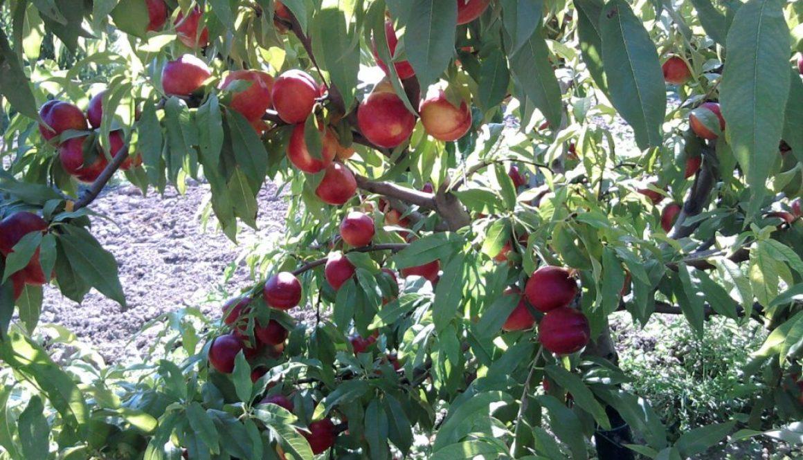 Fitokondi gyümölcstermesztés – őszibarack